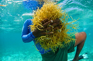 Diver collecting edible algae (Eucheuma sp.) Lighthouse Reef Atoll, Belize. May 2015. Model released.  -  Pete Oxford