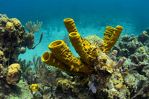 Yellow tube sponge (Aplysina fistularis) Lighthouse Reef Atoll, Belize Barrier Reef, the second largest barrier reef system in the world. Belize.  -  Pete Oxford