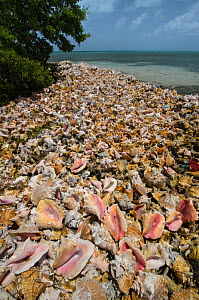 Queen conch (Strombus gigas) seashells harvested for their meat, Hat Caye, Lighthouse Reef Atoll, Belize.  -  Pete Oxford
