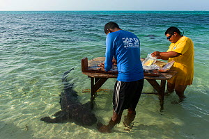 MAR Alliance researchers  taking samples from Great barracuda (Sphyraena barracuda) with Nurse shark (Ginglymostoma cirratum) in the water below after samples have been taken. The samples are to deter...  -  Pete Oxford