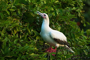 Red-footed booby (Sula sula) in Ziricote trees (Cordia dodecandra) Halfmoon Caye Colony, Lighthouse Reef Atoll, Belize.  -  Pete Oxford