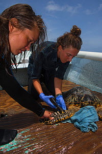 Women tagging Hawksbill turtle (Eretmochelys Imbricata) capture for annual monitoring by MAR Alliance, Lighthouse Reef Atoll, Belize. May 2015.  -  Pete Oxford