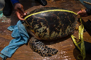 Hawksbill turtle (Eretmochelys Imbricata) captured for annual monitoring program by MAR Alliance, Lighthouse Reef Atoll, Belize. May 2015.  -  Pete Oxford