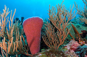 Pink vase sponge (Niphates digitalis)  and Porous sea rods (Pseudoplexaura sp.) Hol Chan Marine Reserve, Belize.  -  Pete Oxford