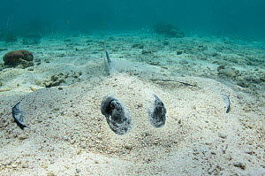 Southern stingray (Hypanus americanus) half hidden on sand seabed, Belize Barrier Reef, Belize. - Pete Oxford