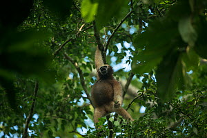 Hoolock gibbon (Hoolock hoolock) female in trees, Gibbon Wildlife Sanctuary, Jorhat, Assam, North East India.  -  Pete Oxford