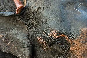Close up of Domestic Asian elephant (Elephas maximus) and foot of person riding it. Kaziranga National Park, Assam, North East India. October 2014.  -  Pete Oxford