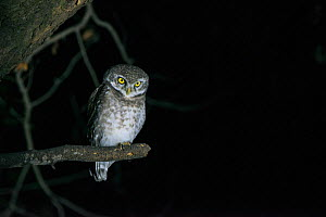 Spotted owlet (Athene brama) at night, National Chambal Gharial Wildlife Sanctuary, Madhya Pradesh, India.  -  Pete Oxford