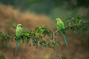 Rose-ringed parakeets (Psittacula krameri manillensis) perched, National Chambal Gharial Wildlife Sanctuary, Madhya Pradesh, India.  -  Pete Oxford