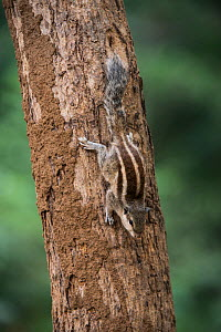 Five-striped palm squirrel or northern palm squirrel (Funambulus pennantii) National Chambal Gharial Wildlife Sanctuary, Madhya Pradesh, India  -  Pete Oxford