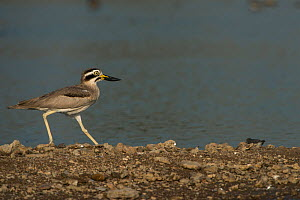 Great thick-knee (Esacus recurvirostris) National Chambal Gharial Wildlife Sanctuary, Madhya Pradesh, India  -  Pete Oxford