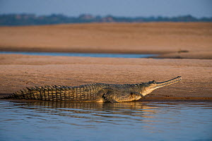 Gharial (Gavialis gangeticus) on shore, National Chambal Gharial Wildlife Sanctuary, Madhya Pradesh, India. Critically endangered species.  -  Pete Oxford