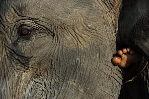 Close up of Domestic Asian elephant (Elephas maximus) and foot of person riding it. Kaziranga National Park, Assam, North East India. November 2014.  -  Pete Oxford