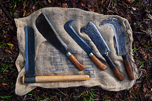 Traditional hand tools for coppicing hazel (Corylus avellana) Ullenwood, Coberley, Gloucestershire, UK. - Nick Turner