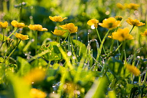 Marsh marigold / King cup (Caltha palustris) flowering by marshy stream on Limestone Link trail, St.Catherine Valley, South Gloucestershire, UK. April.  -  Nick Turner