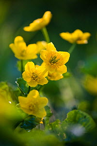 Marsh marigold / King cup (Caltha palustris) flowering on  Limestone Link trail, St.Catherine Valley, South Gloucestershire, UK. April.  -  Nick Turner