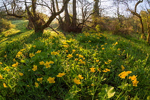 Marsh marigold / King cup (Caltha palustris) flowering by marshy stream on the Limestone Link trail, St.Catherine Valley, South Gloucestershire, UK. April 2015.  -  Nick Turner