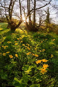 Marsh marigold / King cup (Caltha palustris) flowering by a marshy stream on the Limestone Link trail, St.Catherine Valley, South Gloucestershire, UK. April 2015.  -  Nick Turner