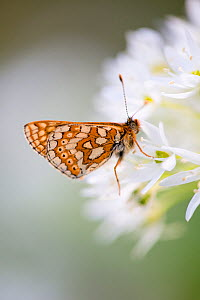 Marsh fritillary butterfly (Euphydrayas aurinia) feeding on Wild garlic / Ramsons (Allium ursinum) at Strawberry Banks, Gloucestershire Wildlife Trust (GWT),  Nature Reserve, Gloucestershire, UK. May. - Nick Turner