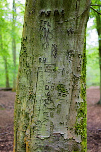 Tree graffiti on a Beech tree (Fagus silvatica) at Foxholes Nature Reserve, Oxfordshire, UK. May.  -  Nick Turner