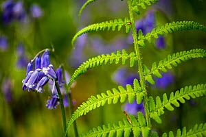 Bluebells (Hyacinthoides non-scripta) and ferns, Foxholes Nature Reserve, Oxfordshire, UK. May.  -  Nick Turner