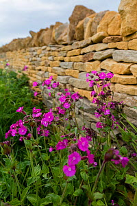 Cotswolds dry stone wall and Red campion (Silene dioica), Kineton, Gloucestershire, UK. May.  -  Nick Turner