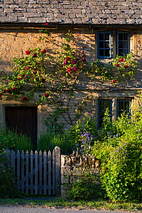 Cotswold stone cottage with climbing roses, Guiting Power, Gloucestershire, UK. June.  -  Nick Turner