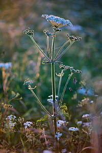 Cow Parsley (Anthriscus sylvestris) in flower at Far Oakridge, Gloucestershire, UK. June. - Nick Turner