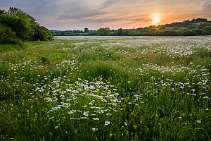 Wildflower meadow with Ox-eye daisy (Leucanthemum vulgare), Salperton Gloucestershire, UK. June 2015. - Nick Turner