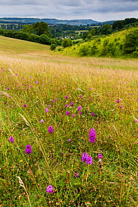 Pyramidal orchid (Anacamptis pyramidalis) on land restored from arable to wildflower rich grassland, Syreford, Gloucestershire, UK. July 2015.  -  Nick Turner