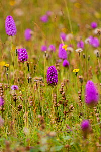 Pyramidal orchid (Anacamptis pyramidalis) on land restored from arable to wildflower rich grassland, Syreford, Gloucestershire, UK. July.  -  Nick Turner