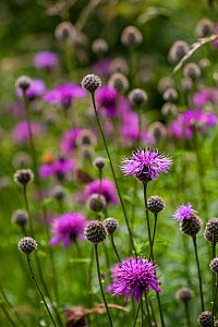 Greater knapweed (Centaurea scabiosa) in wildflower rich field margins, Syreford, Gloucestershire, UK. July.  -  Nick Turner