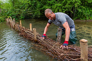 Corporate volunteer from Thames Water rebuilding river bank with hazel faggots on River Windrush at Brassey GWT Nature Reserve, Gloucestershire, UK. August 2015.  -  Nick Turner