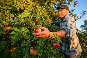 Apple (Malus domestica) picking at Day's Cottage Heritage Orchard, Brookthorpe, Gloucestershire. Old orchards provide vital habitat for flora and fauna. September 2015.  -  Nick Turner