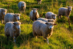 Flock of Cotswold Lions rare breed sheep (Ovis aries), Naunton, Gloucestershire, UK. Introduced by the Romans in Middle Ages for their wool which became known as Golden Fleece. October.  -  Nick Turner