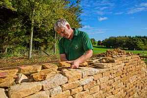 Traditional dry stone waller working with Cotswolds limestone building a wall, Guiting Power, Gloucestershire, UK. October 2015.  -  Nick Turner