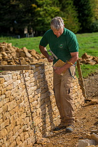 Traditional dry stone waller working with Cotswolds limestone, building a wall,  Guiting Power, Gloucestershire, UK. October 2015.  -  Nick Turner