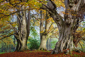 Ancient Beech trees (Fagus sylvatica), Lineover Wood, Gloucestershire UK. The second largest Beech tree in England. November 2015. - Nick Turner