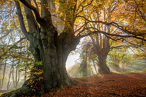 Ancient Beech trees (Fagus sylvatica), Lineover Wood, Gloucestershire UK. The second largest Beech tree in England in the foreground. November 2015. - Nick Turner