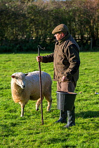 Steve Parkes,  Cotswold Lion sheep breeder (Ovis Aries), a rare breed native to Gloucestershire brought by  Roman settlers to the Cotswolds, UK. November 2015.  -  Nick Turner