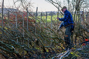 Traditional hedge laying, Fosse Cross, Gloucestershire, UK. November 2015. - Nick Turner