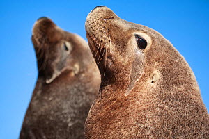Australian sea lions (Neophoca cinerea) two males, sitting side by side. Carnac Island, Western Australia. It is the only sea lion colony in the world that comprises only males. - Tony Wu