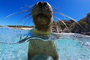 Juvenile Australian sea lion (Neophoca cinerea) resting in shallows, possibly to thermoregulate, Carnac Island, Western Australia.  -  Tony Wu