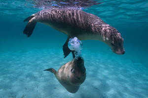 Two juvenile Australian sea lions (Neophoca cinerea) playing in shallow water, with one blowing bubbles as part of the social interaction between them, Carnac Island, Western Australia.  -  Tony Wu