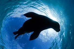 Juvenile Australian sea lion (Neophoca cinerea) silhouetted against blue skies at Carnac Island, Western Australia - Tony Wu