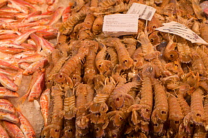 Fresh Mantis Shrimp (Squilla Mantis) for sale in Rialto Market Venice, Italy, April.  -  Gary  K. Smith