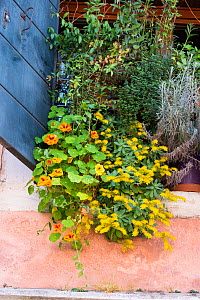 Window box with Nasturtiums, Curry Plant and Succulents, Venice, Italy, April. - Gary  K. Smith