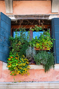 Window box with Nasturtiums, Curry Plant and Succulents in Venice, Italy. April. - Gary  K. Smith