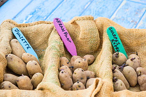 Potato (Solanum tuberosum), 'Arran Pilot', 'Juliette' and 'Sharpes Express', set to chit prior to planting, England, UK. February.  -  Gary  K. Smith