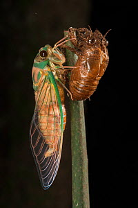 Cicada (Cicacidae) newly metamorphosed cicada.  Queensland, Australia. - Jurgen Freund